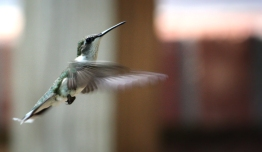 Hummingbird 4191082044